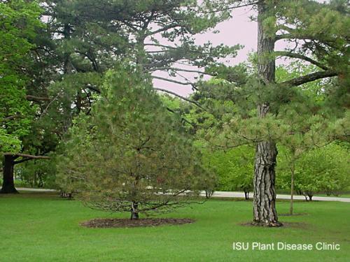 Image of Dothistroma on an Austrian Pine