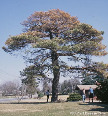 Image of pine wilt on a Scotch Pine