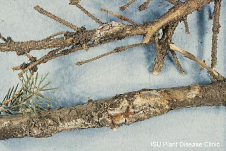 Image of Cytospora canker on a Blue Spruce branch