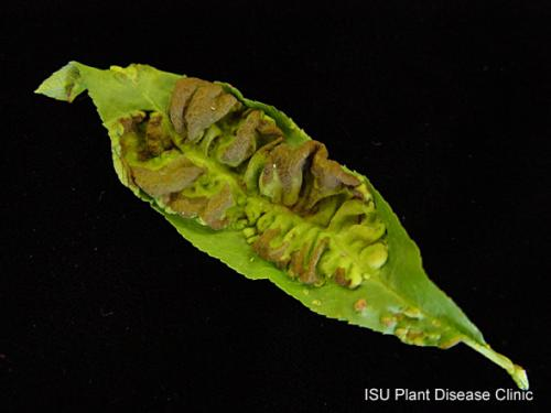 Image of peach leaf curl