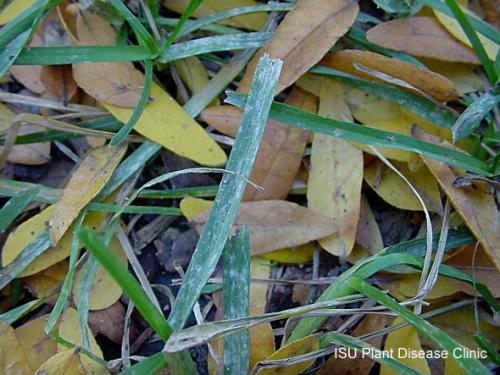 Image of powdery mildew on turf grass