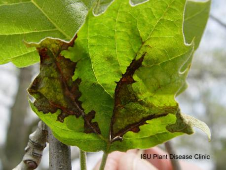 Image of anthracnose on a sycamore leaf