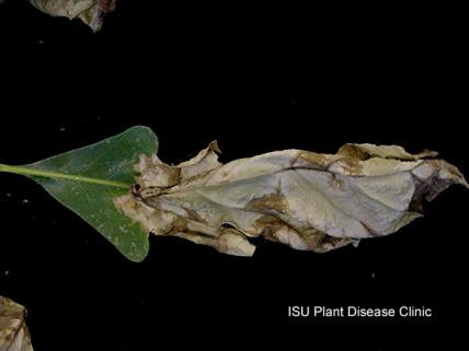 Image of anthracnose on an oak leaf