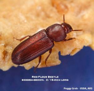 Image of a red flour beetle