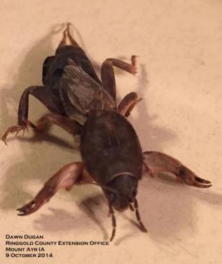 Image of a mole cricket