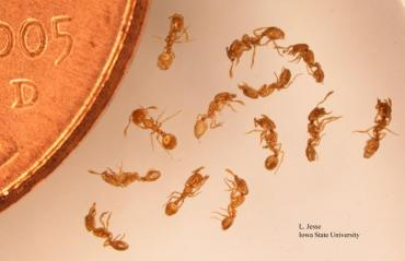 Image of grease ants next to a penny