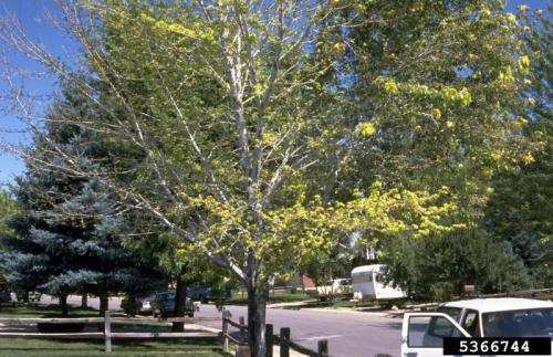 Image of Verticillium wilt symptoms in silver mapples. William Jacobi, Colorado State University, Bugwood.org