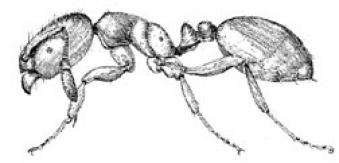 Artist rendering of a grease ant