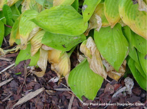 Image of diseased hosta