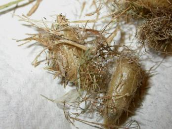 Cocoons of grass-carrier wasps