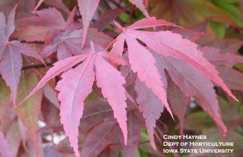 purple-leaf Japanese maple foliage