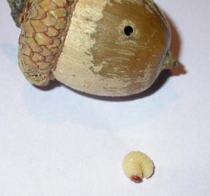 Acorn weevil larva and acorn with hole.