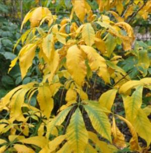 Image of bottlebrush buckeye fall foliage color