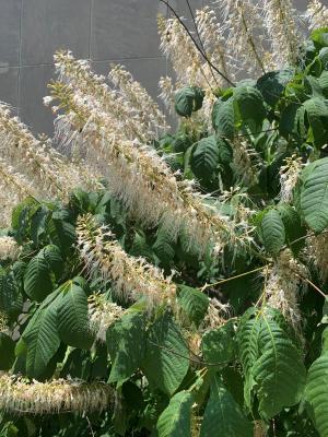 Image of bottlebrush buckeye flowers