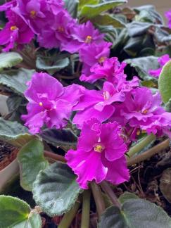 An African violet