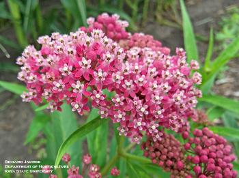 Pink Flower of Swamp Milkweed