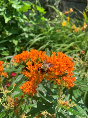 image of butterfly weed flower