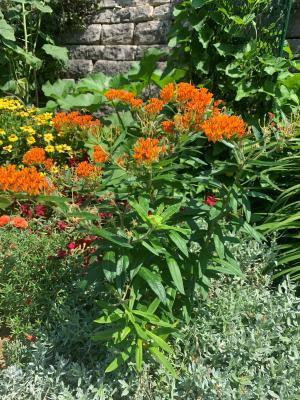 image of butterfly weed