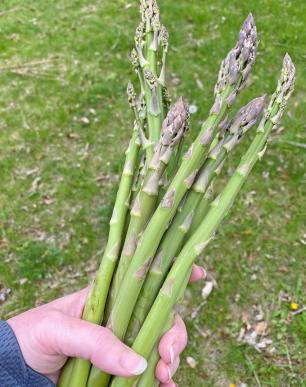 Handful of Asparagus