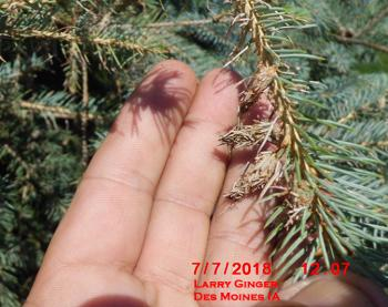 Small bagworms on spruce tree