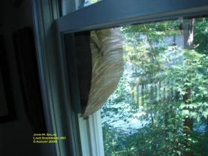 baldfaced hornet's nest on window