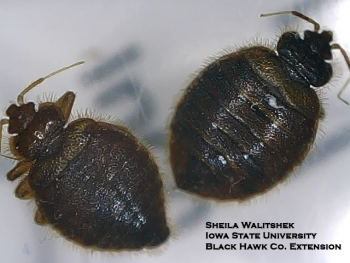 Two bat bugs showing the long hairs at the edge of the thorax