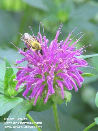 Bee balm with nectar-feeding bumble bee.