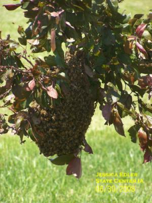 Honey bee swarm. Photo by Jessica Edler.