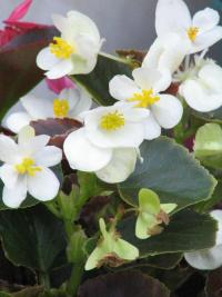 white flowers on wax begonia