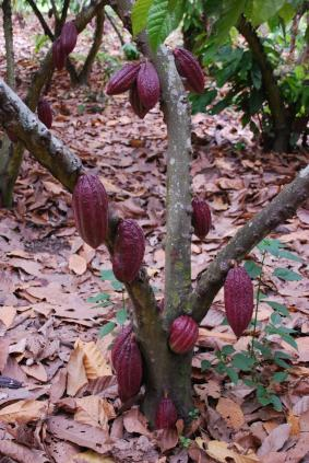 A tree with cacao pods on it.