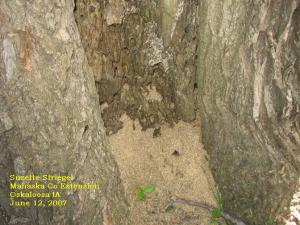Coarse sawdust accumulates at the base of a tree infested with carpenter ants.
