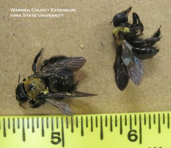 Dead carpenter bees next to yellow ruler