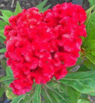 Celosia Chief Fire Red flowers