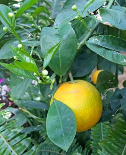 A bright yellow citrus fruit on a branch, surrounded by leaves at Reiman Gardens