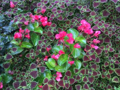 Dragon wing begonia growing with coleus