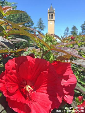 A red hardy hibiscus flower on the Iowa State campus