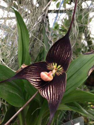 A Dracula orchid from Ecuador
