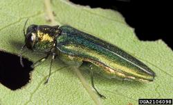 emerald ash borer adult beetle is one-half inch long.