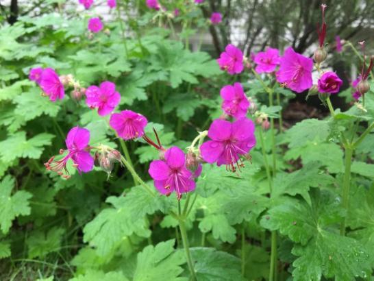Perennial Geraniums Or Cranesbills Horticulture And Home