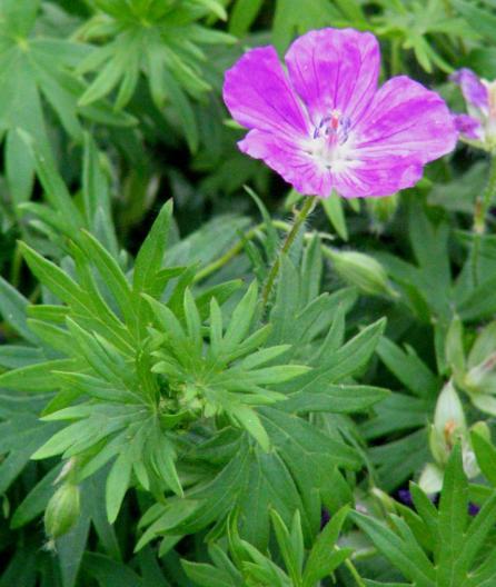 A picture illustrating a purple-hued Geranium sanguineum