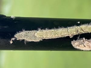 moth egg masses on golf course flag pole