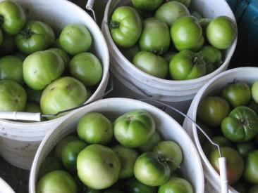 buckets of green tomatoes.