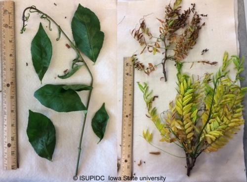 Various species showing symptoms of chemical exposure in the landscape (Euonymous-Left, Locust- Right)