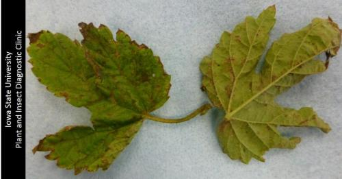 symptoms of hops downy mildew
