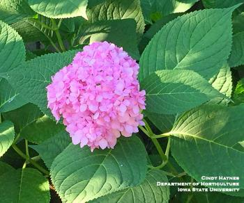 Pink blossom of Hydrangea Endless Summer