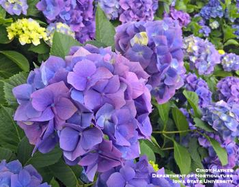 Blossom of a blue Macrophylla hydrangea