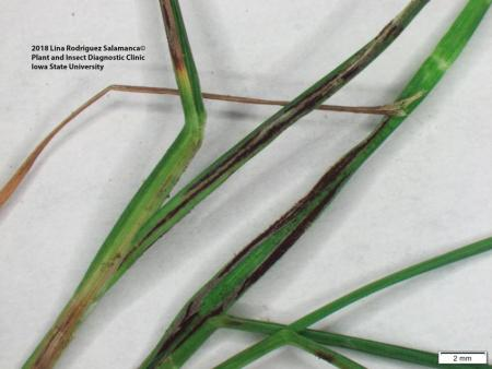 Flag smut of grasses caused by the fungi Urocystis agropyri