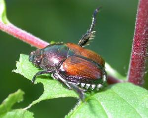 Adult Japanese beetle photo by Laura Iles