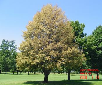 Japanese beetle feeding on the leaves caused this linden tree to turn completely brown