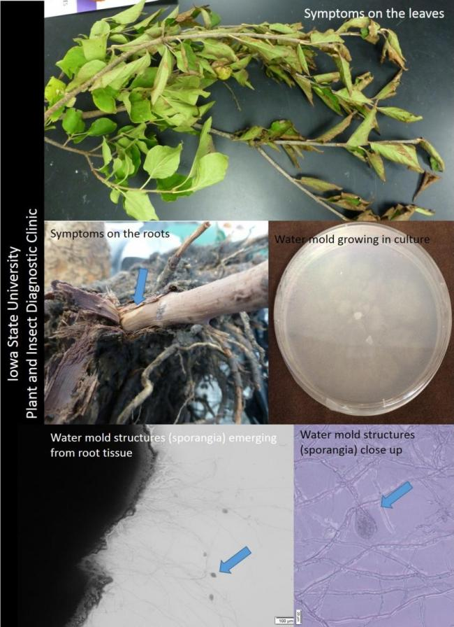 Phytophthora shoot blight on lilac